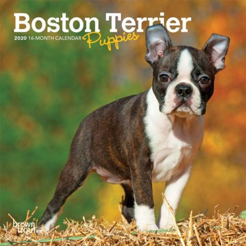 Boston Terriers Puppies 2020 Mini Calendar Boston Terriers May Be