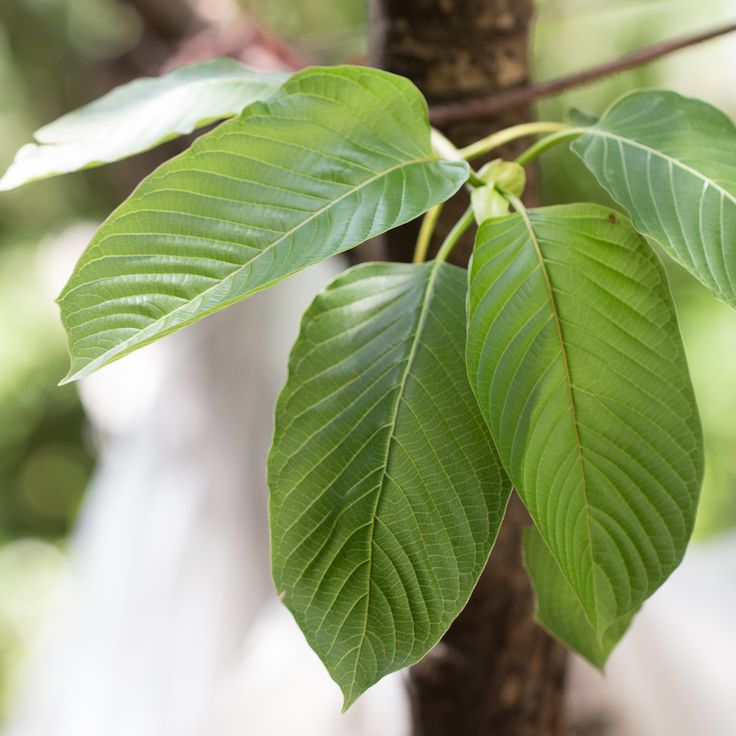 Kratom from the National Center for Complementary and Integrative Health, U.S. National Institutes of Health (NIH).
