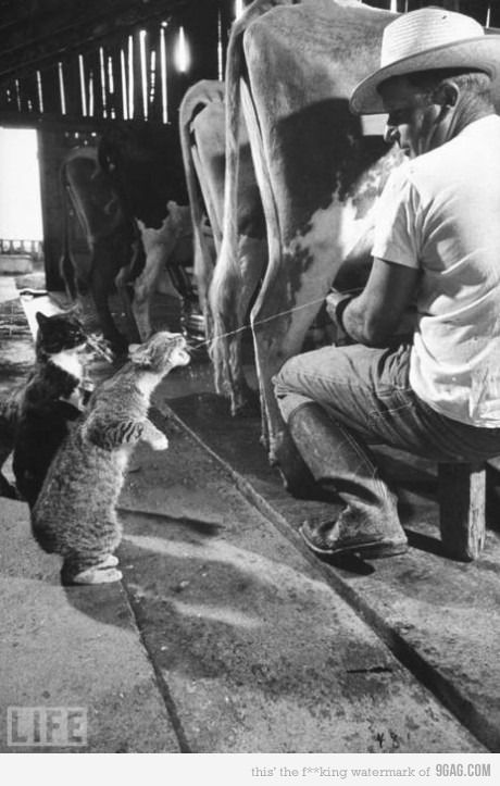 <3: Picture, Fresh Milk, The Farms, Funny, My Dads, Photo, Cows, Animal, Farms Cat