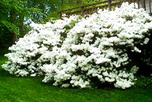 Delaware Valley White Azalea — Blooms in late Spring, relatively maintenance free, max hight and width of about 4ft, fertilize once a year, prefers acidic soil but will grow anywhere.