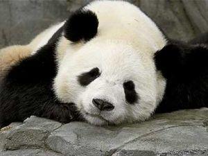 panda by Moshi Moshi