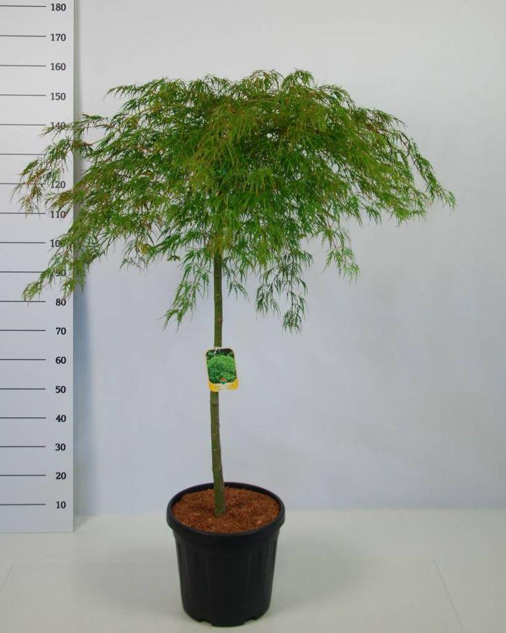 Acer Palmatum Dissectum op stam is een langzaam groeiende Japanse esdoorn die uiteindelijk een hoogte bereikt van 120 tot 150 cm en een breedte van 120cm.