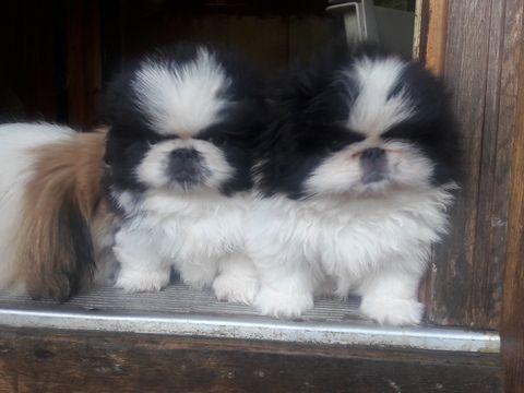 Litter of 2 Pekingese puppies for sale in ASHEVILLE, NC. ADN-38616 on PuppyFinder.com Gender: Male. Age: 8 Weeks Old