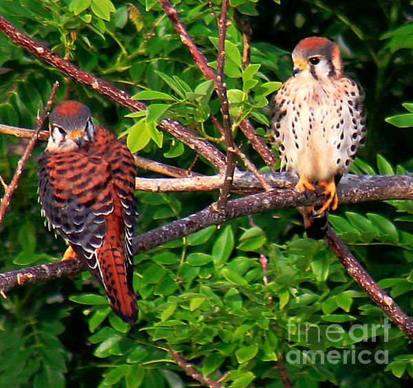 A pair of wild Kestrel Falcons, Carolina, Puerto Rico.