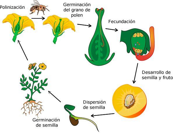 Resultado De Imagen Para Ciclo Reproductivo De Las Plantas Angiospermas Germinacion De Semillas Reglas De Acentuacion Dispersion De Semillas