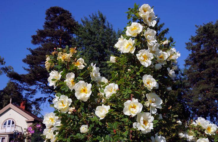 Juhannusruusut kukkivat Meilahden arboretumissa  [Vladimir Pohtokari]