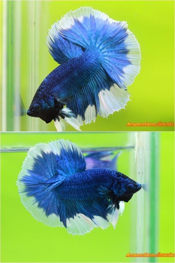 Blue butterfly hm bettas fighting fish pinterest for Butterfly betta fish
