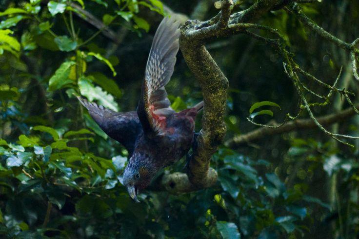 Kaka in Flight by Fraser Punt on 500px