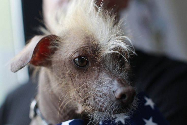 Scenes From The 2012 World's Ugliest Dog Contest