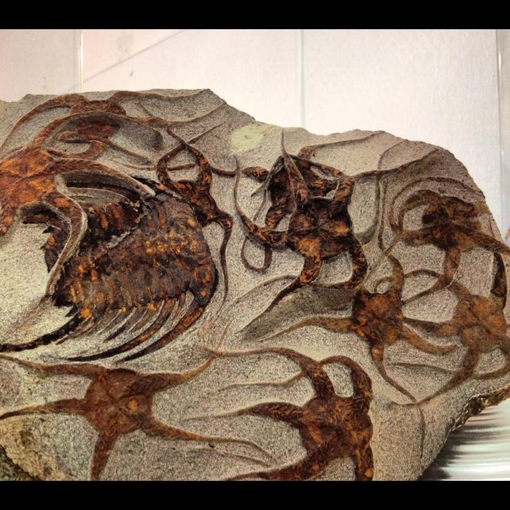 Fossil trilobite w sea stars
