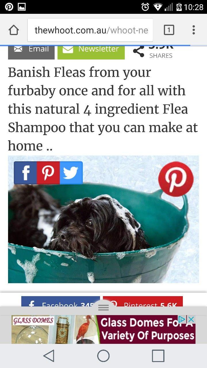 http://thewhoot.com.au/whoot-news/diy/natural-anti-flea-dog-shampoo