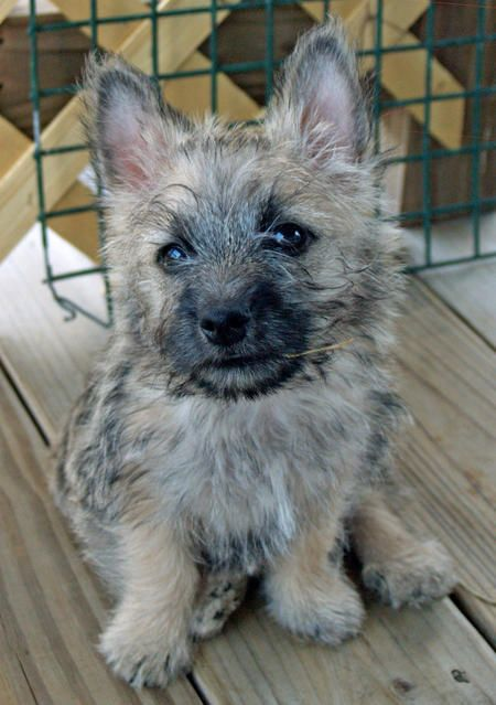 Cairn Terrier (what type of dog is this and why is it so darn cute!?)