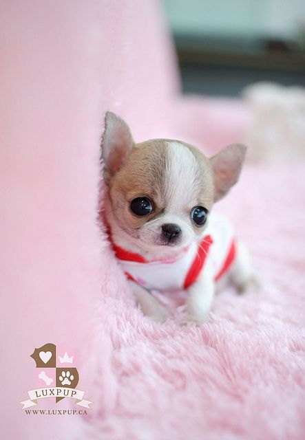 Teacup Chihuahua - very cute, but frankly, I think we need to start resisting the temptation to screw with dogs like this.