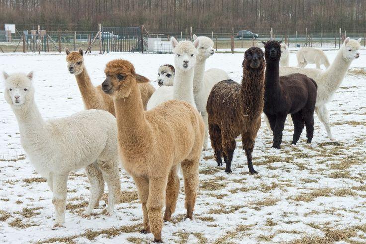 Lama's in de polder bij Sommelsdijk/Middelharnis (Goeree-Overflakkee, the…