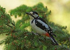 Great spotted woodpecker / Flaggspett (Kjersti Nybakke) Tags: wild summer green bird nature animal norway outdoors wildlife greatspottedwoodpecker dendrocoposmajor flaggspett sndreland lausgarda kjerstinybakke