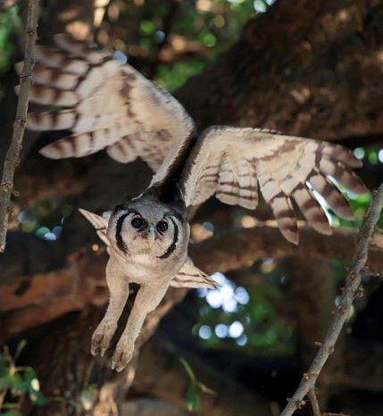 Verreaux's eagle-owl #Botswana #Linyanti