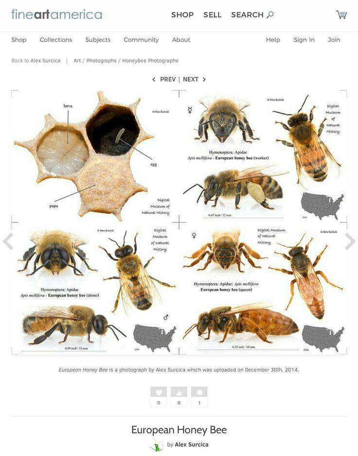 77 besten Bienen Bilder auf Pinterest | Bienen, Insekten und Honig