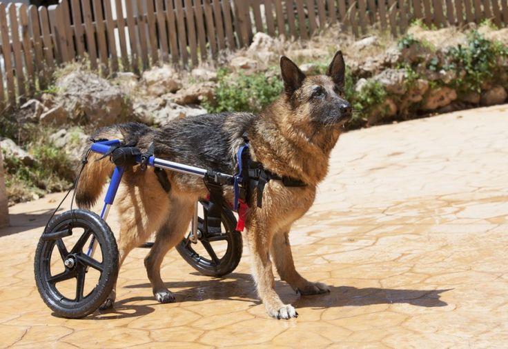 Les fauteuils roulants pour animaux n'existent pas, mais les chariots à deux roues, oui ! De quoi leur rendre une certaine autonomie