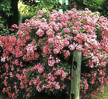 Flowering trees and shrubs are some of the best signs of spring! See some of our best flowering trees and shrubs here: http://www.bhg.com/gardening/trees-shrubs-vines/trees/best-flowering-trees-shrubs/?socsrc=bhgpin042015shrubrose&page=8
