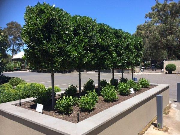 Laurus nobilis 'Green Stem' — Warners Nurseries -fence line?