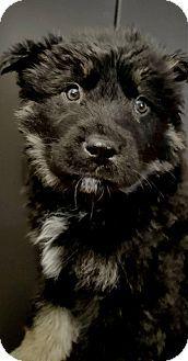 Denver, CO - Australian Shepherd/Australian Cattle Dog Mix. Meet Brac, a puppy for adoption. http://www.adoptapet.com/pet/18106298-denver-colorado-australian-shepherd-mix