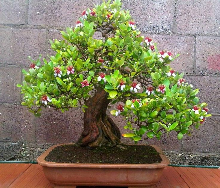 264 besten bonsai bilder auf pinterest bonsai g rtnern for Bonsai hydrokultur