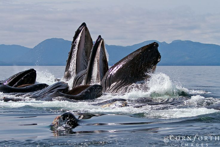 Humpbacks bubble-net feeding, Alaska, Chatham Strait, by Jon Comforth -I want to see something like this in person.