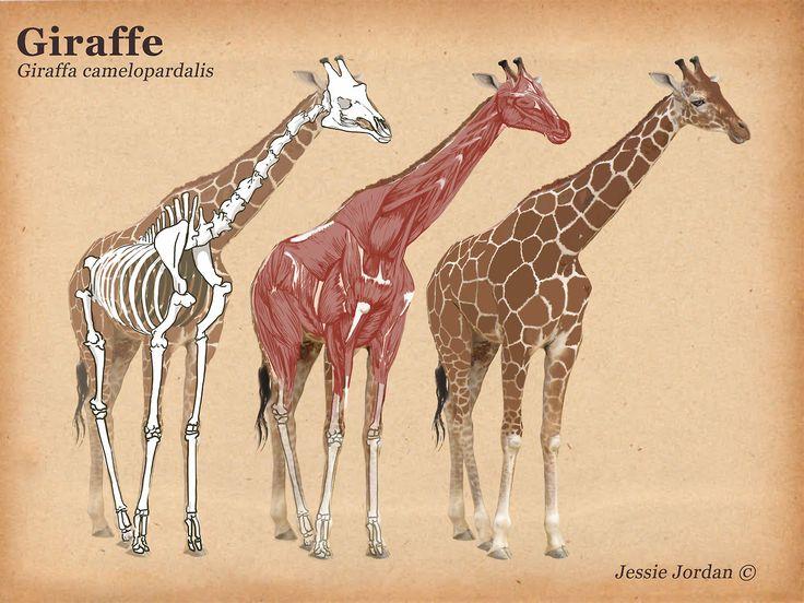 9 best giraffe images on Pinterest Giraffes, Giraffe and Wild - griffe für küche