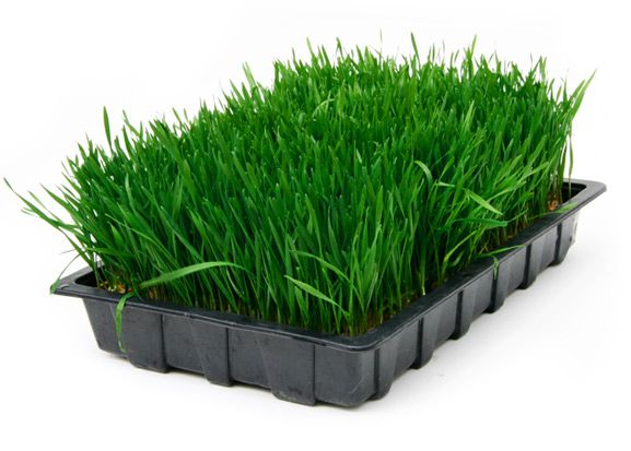 the best herbs  to put in my body | Wheatgrass Benefits