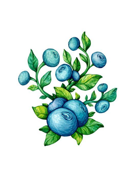 Watercolor Blueberry. Olga Svart Illustration