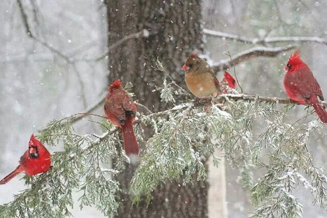 Cardinals in winter beautiful winter scenes and animals - Pictures of cardinals in snow ...