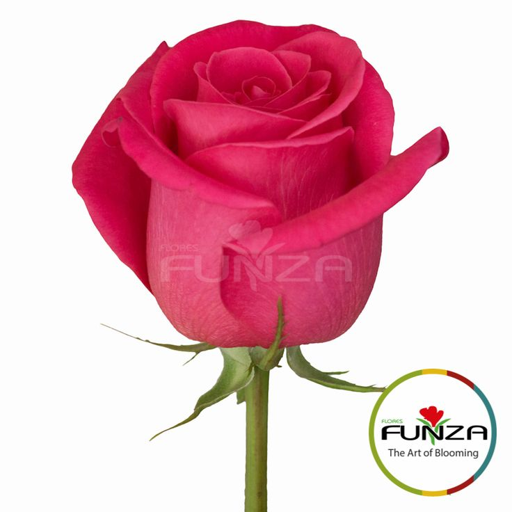 Hot Pink Rose from Flores Funza. Variety: Pink Floyd, Availability: Year-round