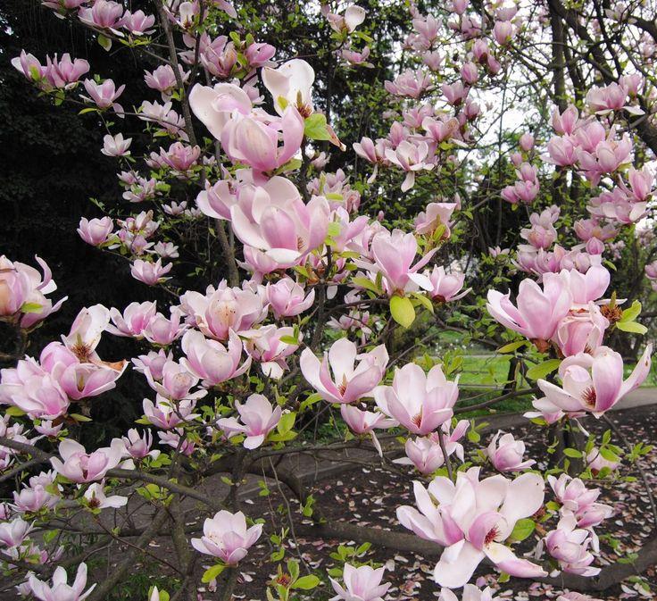 Ogród Botaniczny - magnolie kwitnące w Krakowie | Zapraszam Cię do...