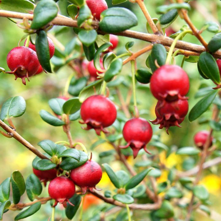 Chilean Guava Plant - KA-POW - James Wong Homegrown Revolution Seeds and Book - Vegetable Seeds - Gardening - Suttons Seeds and Plants