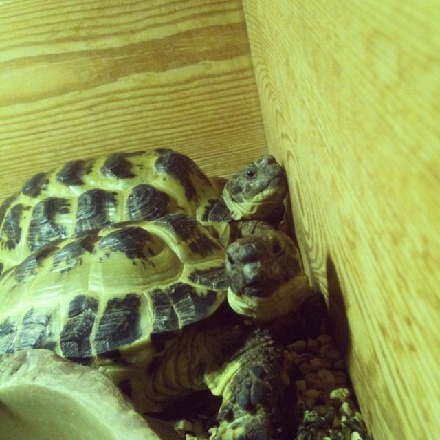 My boys! Clover and Shelby! They are horsefield tortoises, known as the Russian tortoise!