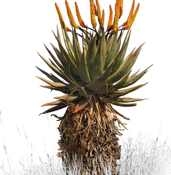 'Aloe 2 - Colour' Canvas Print 550mm x 830mm Normal Price: R1250 SALE PRICE: R1000 Order online - Delivery is FREE to anywhere in South Africa!