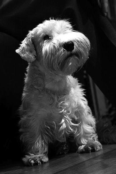 Sealyham Terrier Information and Pictures, Sealyham Terriers