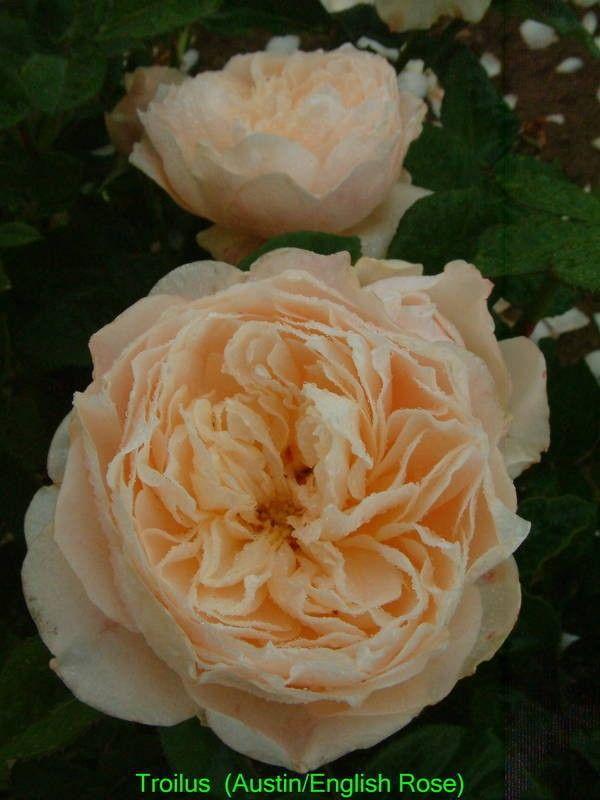 Troilus - David Austin Inglês Rosas - rosas velhas do jardim - Rose Catálogo - Tasman Bay Roses - Comprar Online Rosas na Nova Zelândia