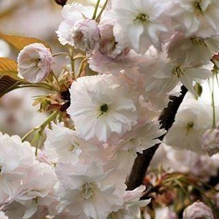 【nasakura.japan】さんのInstagramをピンしています。 《【フゲンゾウ(普賢象):日本の桜シリーズ㉙】 サトザクラの栽培品種です。 名前の由来は、花の重みで枝が垂れ下がる様を普賢菩薩が乗る白象の鼻にたとえ、葉化した2本の雌しべを象の牙に見立てたことからです。「普賢堂」とも呼ばれていますが、室町時代から記録されている古い栽培品種の普賢堂とは異なるという説もあります。 <普賢菩薩って?> 昔の人が、桜の花に菩薩の名前をつけるくらいだから、どん菩薩か調べてみたら、「あらゆる場所に現れ、命あるものを救う慈悲を司る菩薩 」とありました。この美しいサクラの花に救われる思いがしたのかも知れませんね。それにしても、誰が言い出したのか、、、昔の人の想像力は凄いなぁと思います。 🌸  Japanese Beauty in Daily Life ♡日本の日常の美を伝える #651  奈奈より♡ Photo : Webサイトより スルガダイニオイ ☆.。.:*・°☆.。.:*・°☆.。.:*・°☆.。.:*・°☆ ★奈桜 NasakuraのFacebookページです。…