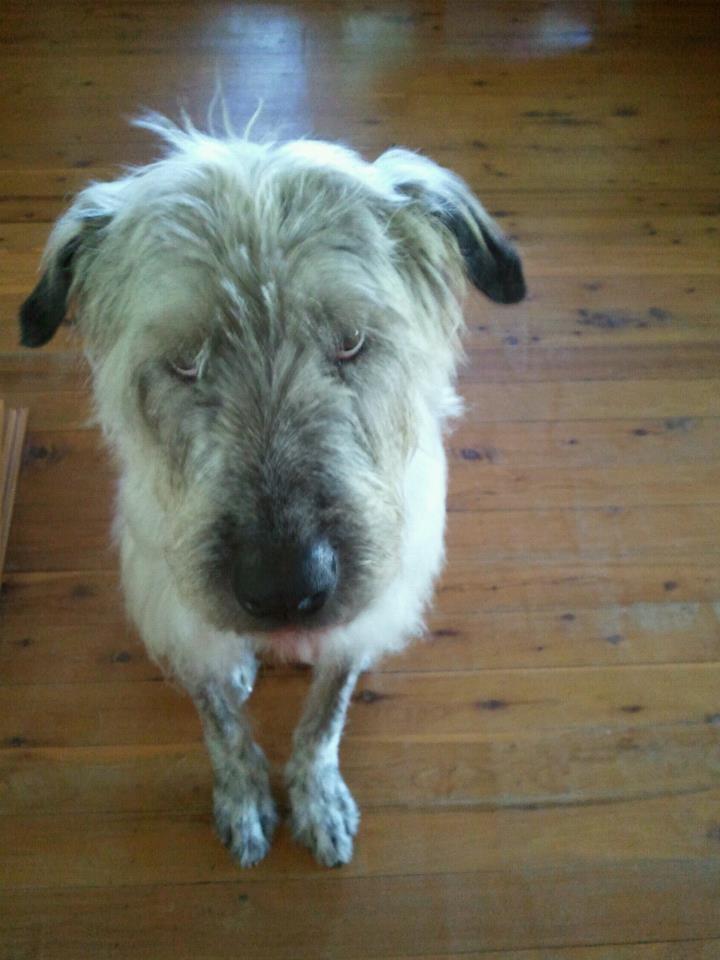 Irish Wolfhound X