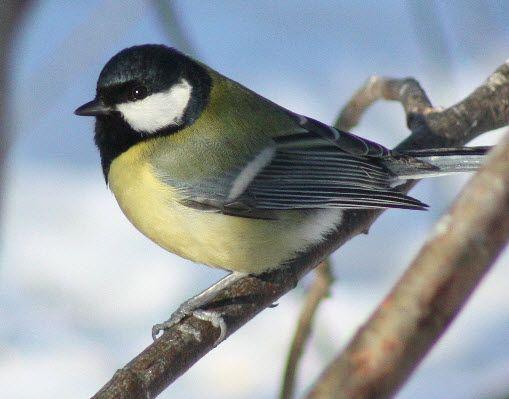 Écoutez le Mésange charbonnière sur chant-oiseaux.fr, une collection complète des chants d'oiseaux français. Fonctionne aussi sur votre téléphone portable!
