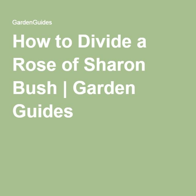 How to Divide a Rose of Sharon Bush | Garden Guides