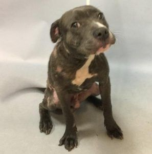 01/08/2018 SUPER URGENT HELP RESCUE PUPPY MAJESTY 16388 - TO BE DESTROYED BROOKLYN NYC - Male puppy, abandoned pet, currently being treated for skin infection, friendly, happy, playful, good on leash, seeks attention, good prognosis.