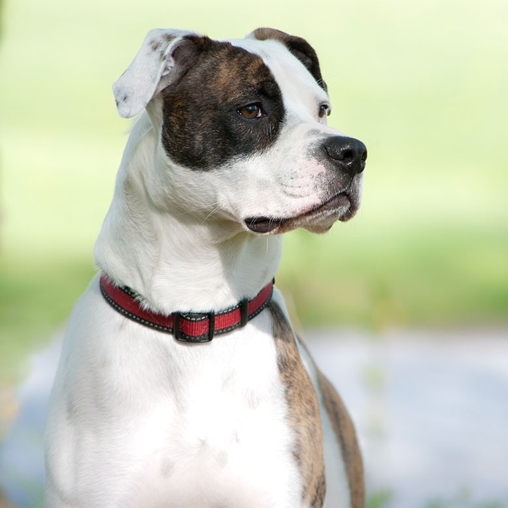 scott type american bulldog best 25 american bulldog mix ideas on pinterest mix 661