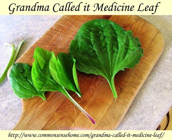 """A avó chamou folha Medicina - banana comum, conhecido como """"medicina vida"""" pode ser usado para o tratamento de mordidas e picadas, queimaduras solares e outras doenças de pele."""