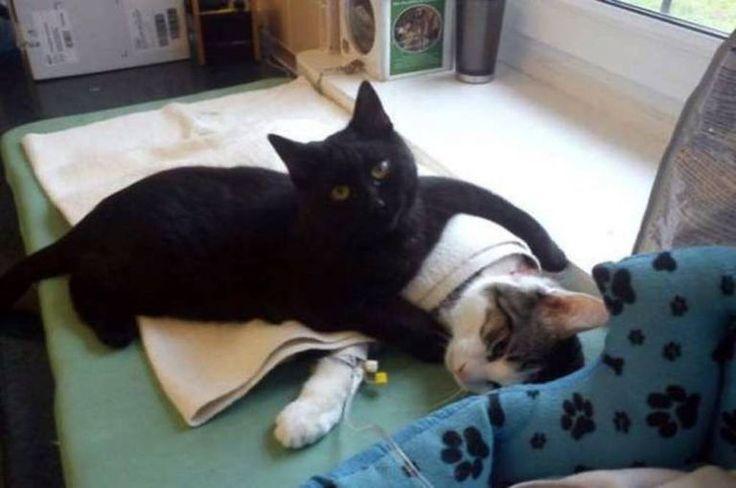 Pic montre: Le chat occuper un autre chaton cat.nnA qui a échappé à la mort après avoir miraculeusement soins d'un vétérinaire a assommé son nouveau propriétaire par infirmière d'autres animaux à la santé maintenant il a recovered.nnBlack moggy Radamenes a été emmené dans un refuge pour animaux de l'année dernière après être trouvé près de la mort dans une rue de la ville de Bydgoszcz, dans le nord Poland.nnThe huit mois chaton a été dégarni et souffrant de problèmes respiratoires et des…