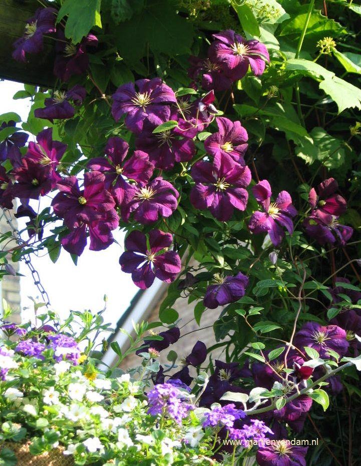 Clematis = bosdruif, rijkbloeiende klimplant, deze behoord bij de Jackmanii groep, kan 2 -5 m worden. Bloeit eerst op het oude hout, mei- juni en later op de jonge scheuten: juni – sept. Moet elk jaar teruggesnoeid worden.
