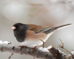 Junco Bird, Male, Dark Eyed- Utah (type of Sparrow)