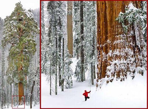 El tercer árbol secuoya más grande del mundo es quizás el más famoso: conocido como El Presidente, reina altivo sobre el Sequioa National Park, en Visalia, California (el árbol más grande del mundo es el secuoya General Sherman). Se cree que este árbol tiene 3,200 años (lo cual también lo hace uno de los organismos más longevos del planeta). Tiene una altura de 75 metros de alto y un volumen de 1,300 metros cúbicos.
