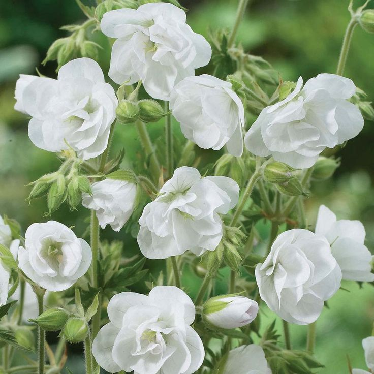 """Hardy Geranium Hardy Geranium pratense 'Laura' Meadow Cranesbill : Perfect for your border displays. Beautiful white double flowering blooms - unbeatable! Hardy Geranium pratense 'Laura' is ideal for ground cover as the foliage grows in a compact manner making it ideal in the cottage garden. Height: 60cm (24""""). Spread: 60cm (24"""")."""
